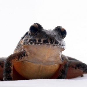 red-bellied frog