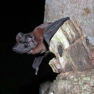 dog faced bats panama