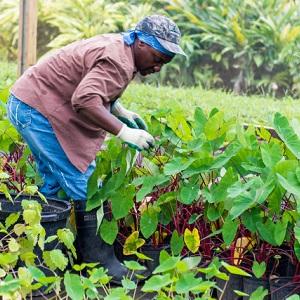 hunger in caribbean